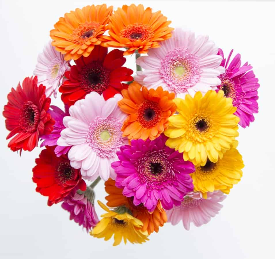 26 different types of gerbera flowers and interesting facts izmirmasajfo