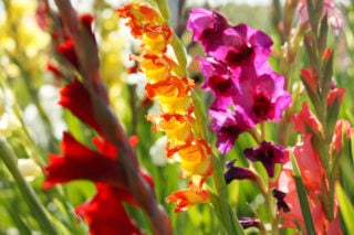 23 Different Types of Gladiolas For Your Garden