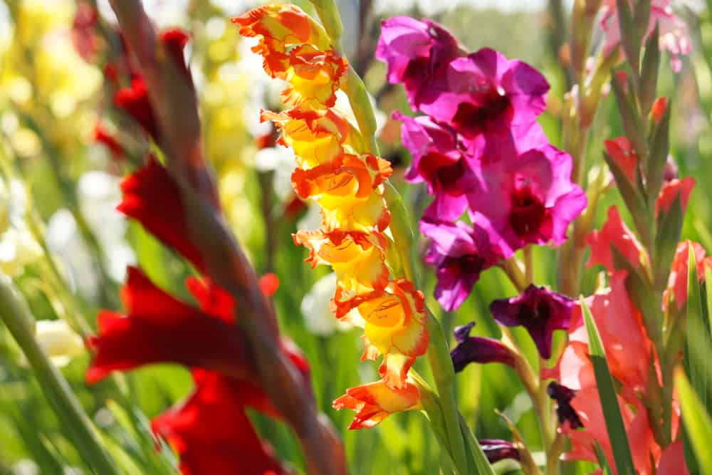 Different types of gladiolus flowers.
