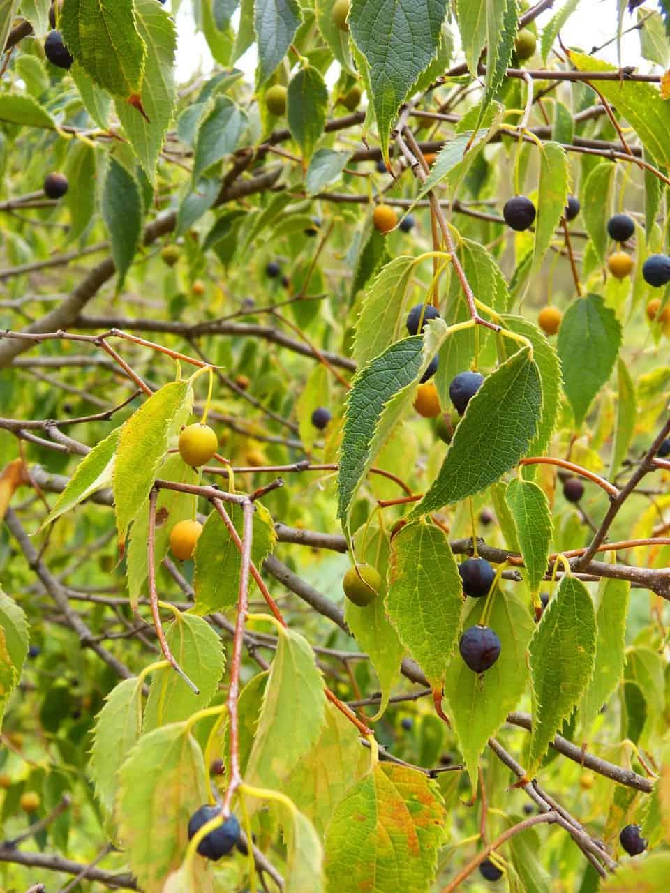 Hackberry fruit tree.