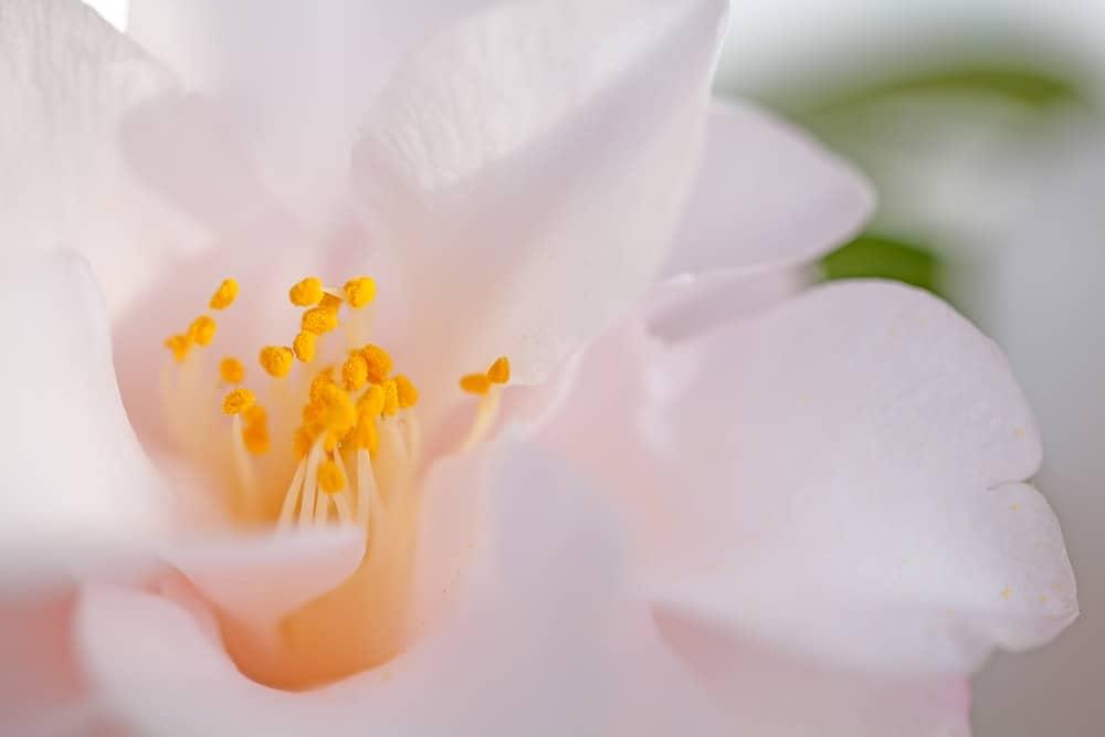 Hagoromo camellia