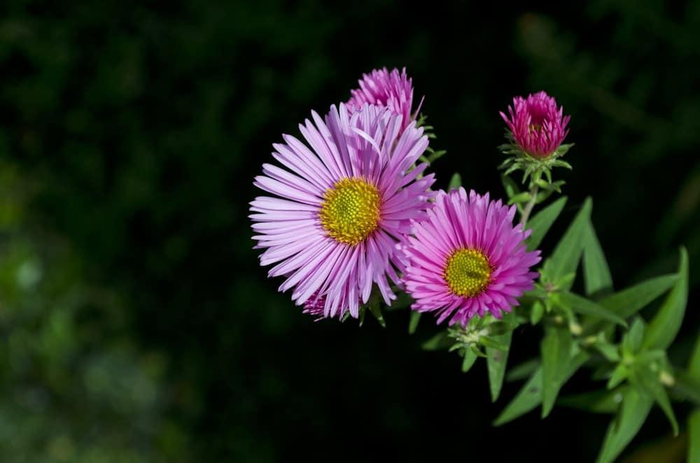Harrington's pink aster