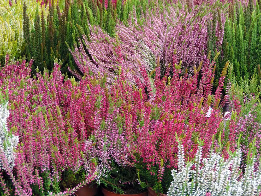 Multi-colored heather in a garden.