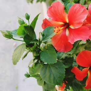 hibiscus-june282018