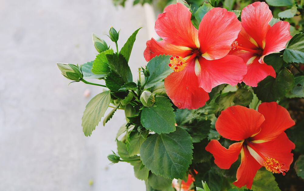 Red hibiscus flowers with green leaves.