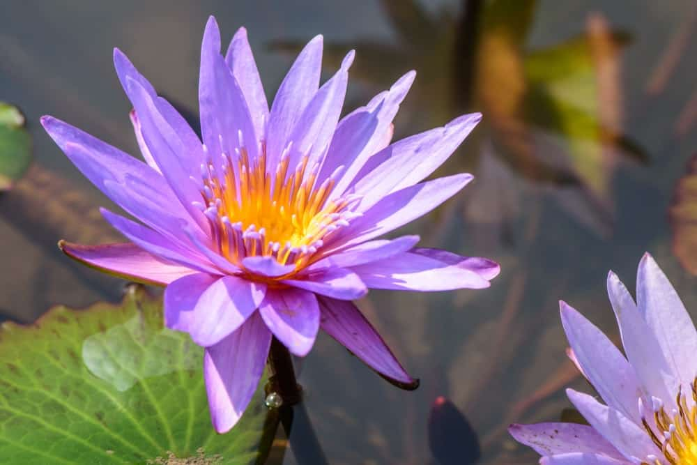 36 Different Types Of Lotus Flowers