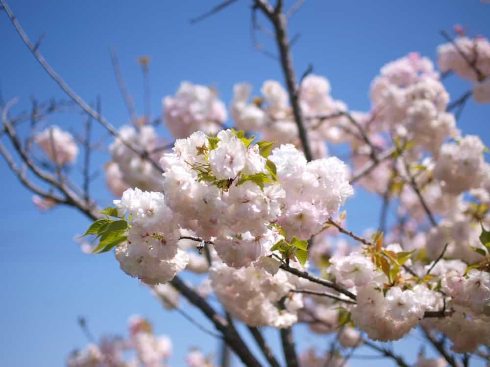 Ichiyo cherry blossom