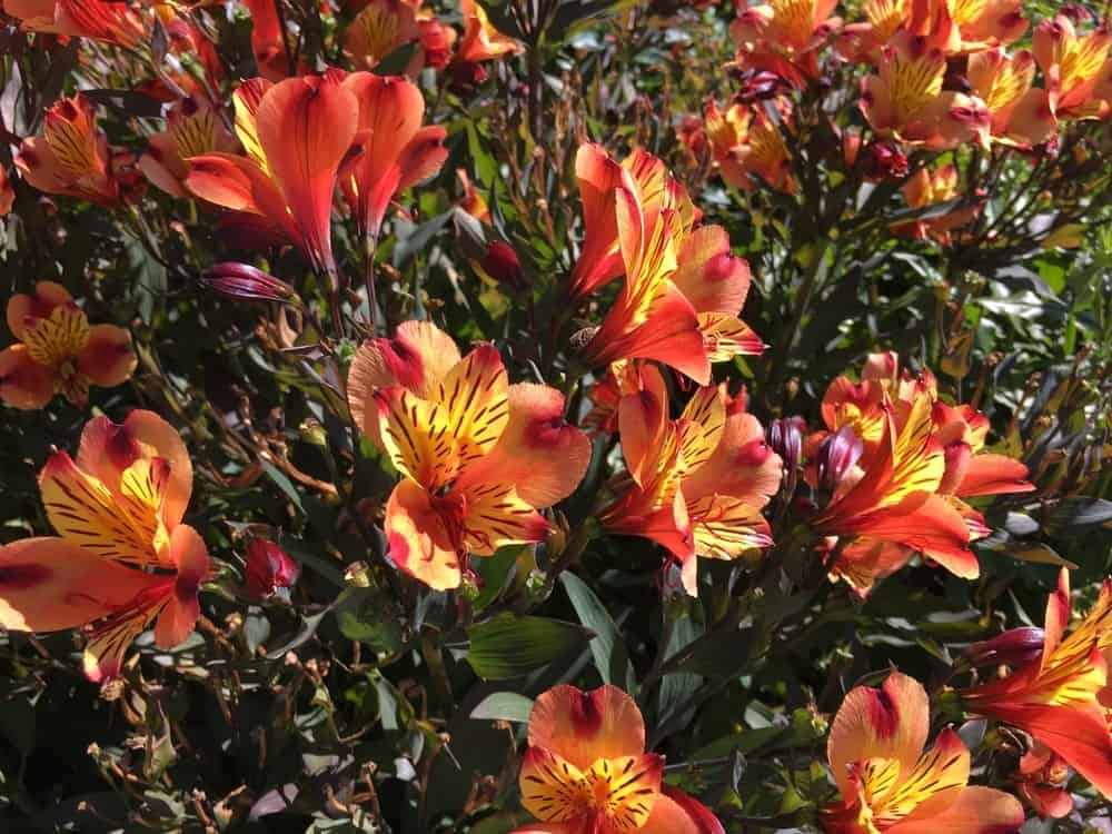 Indian summer alstroemeria