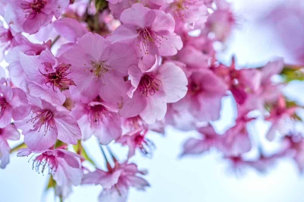 Kanzakura cherry blossom