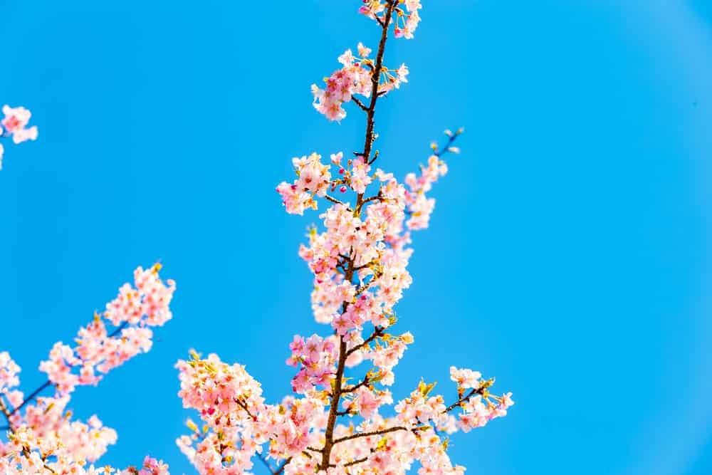 Kawazuzakara cherry blossoms