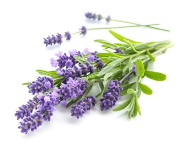 Lavender plant.
