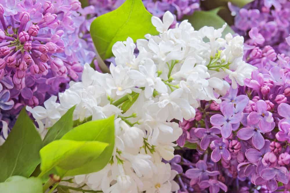 Pink, purple and white lilac flowers.