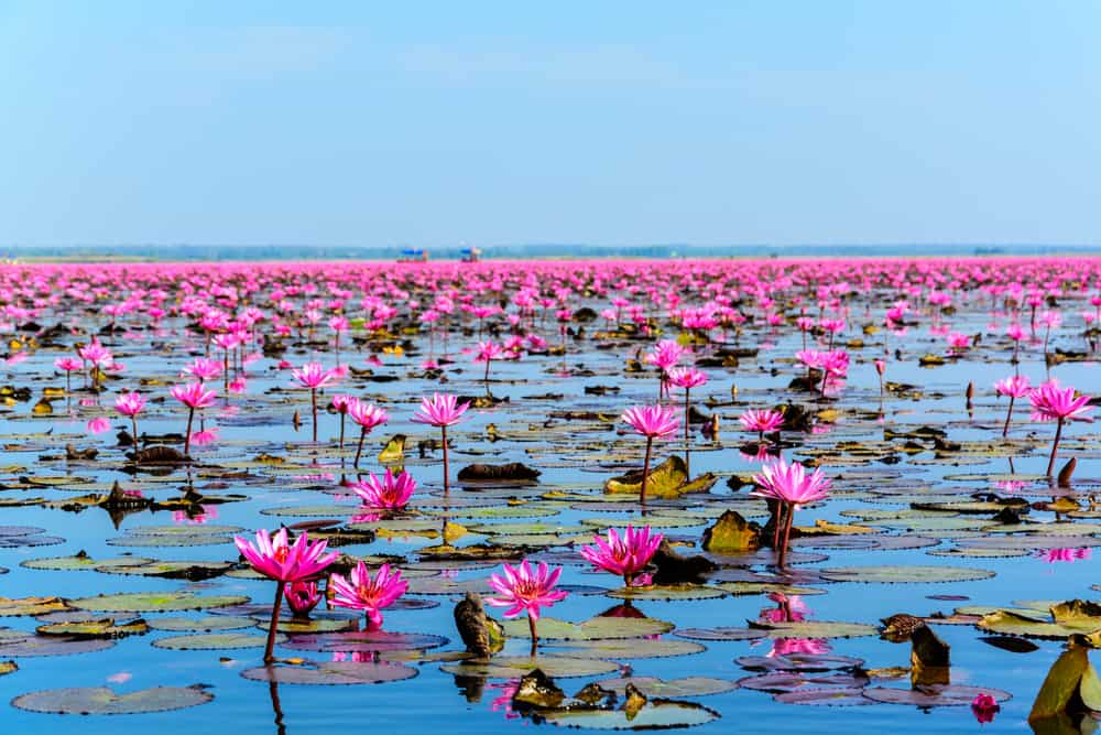 A sea of pink lotus flowers.