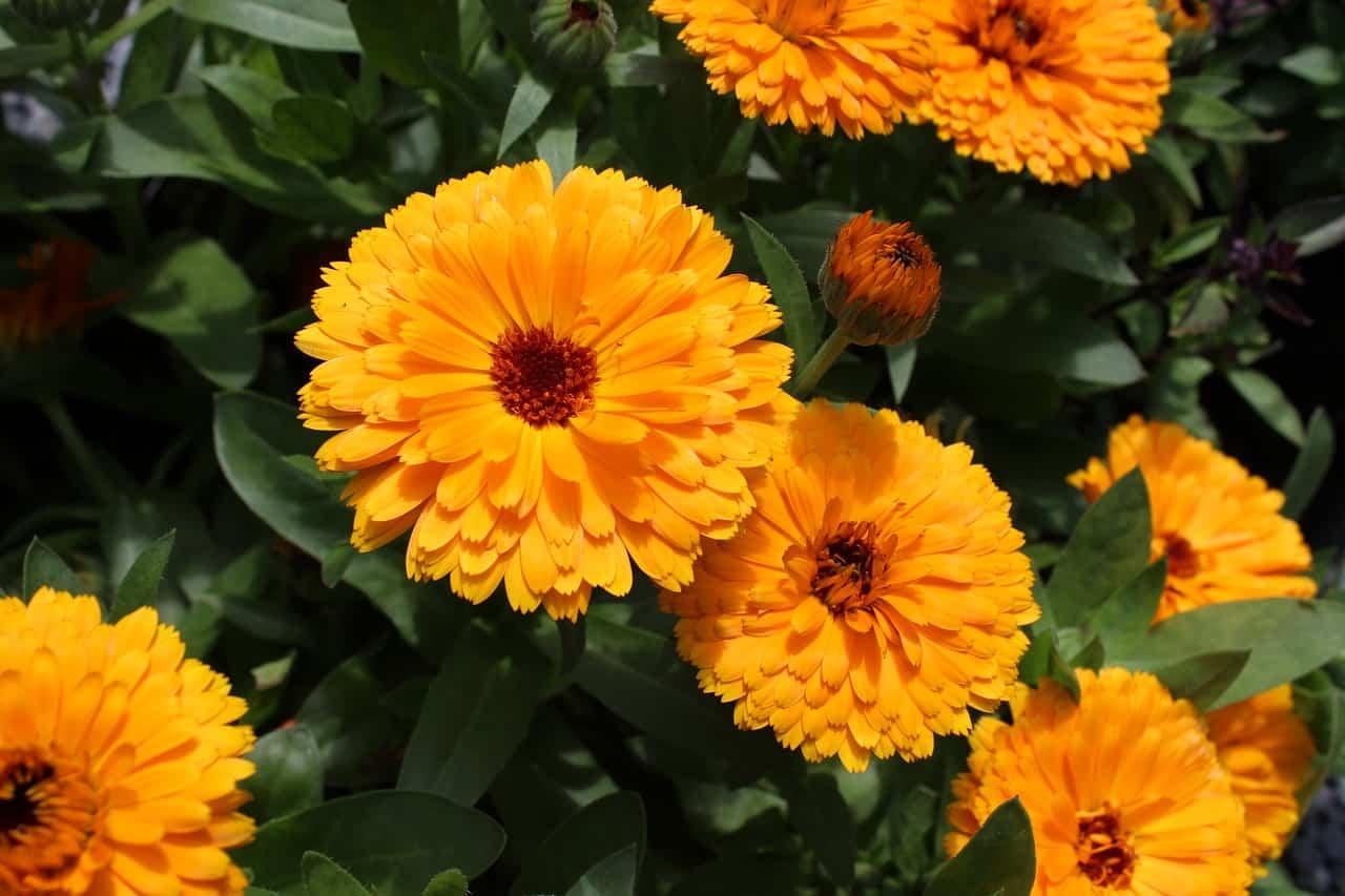 Marigold flowers.