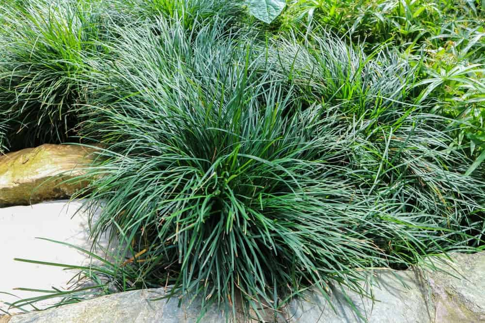 Mondo ornamental grass