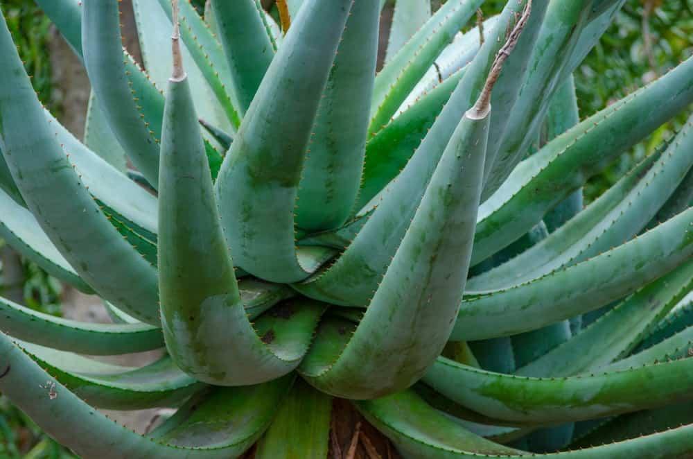 26 Different Types Of Aloe Vera