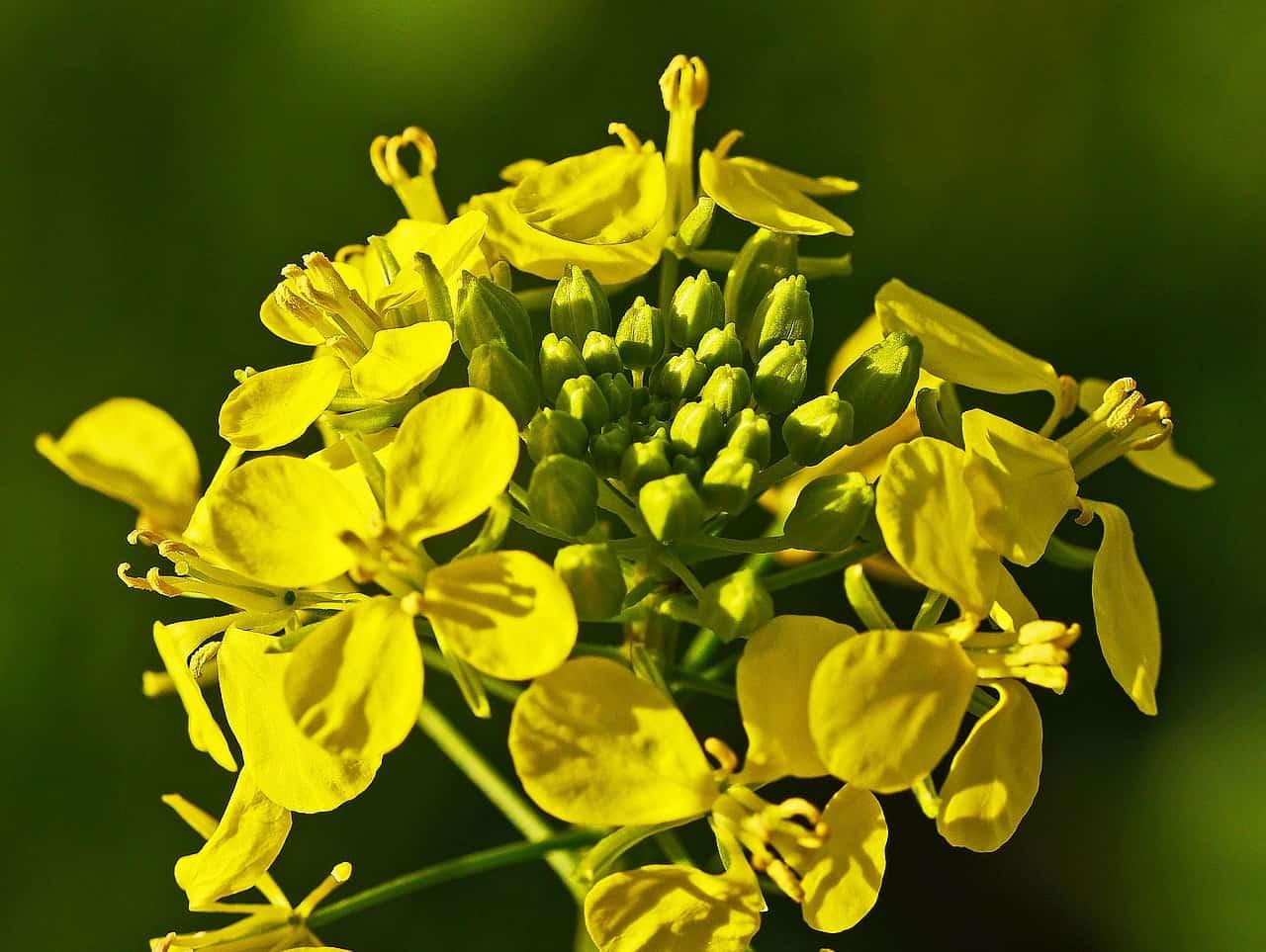 Mustard flower.