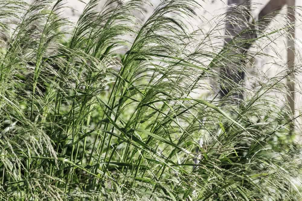 Northwind ornamental grass