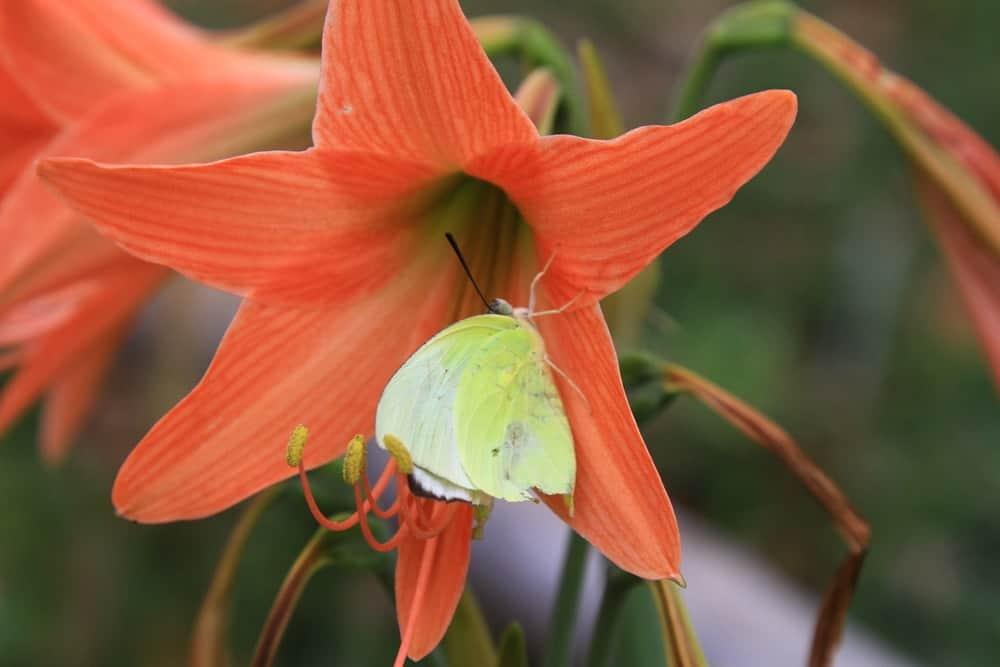 Orange sovereign amaryllis