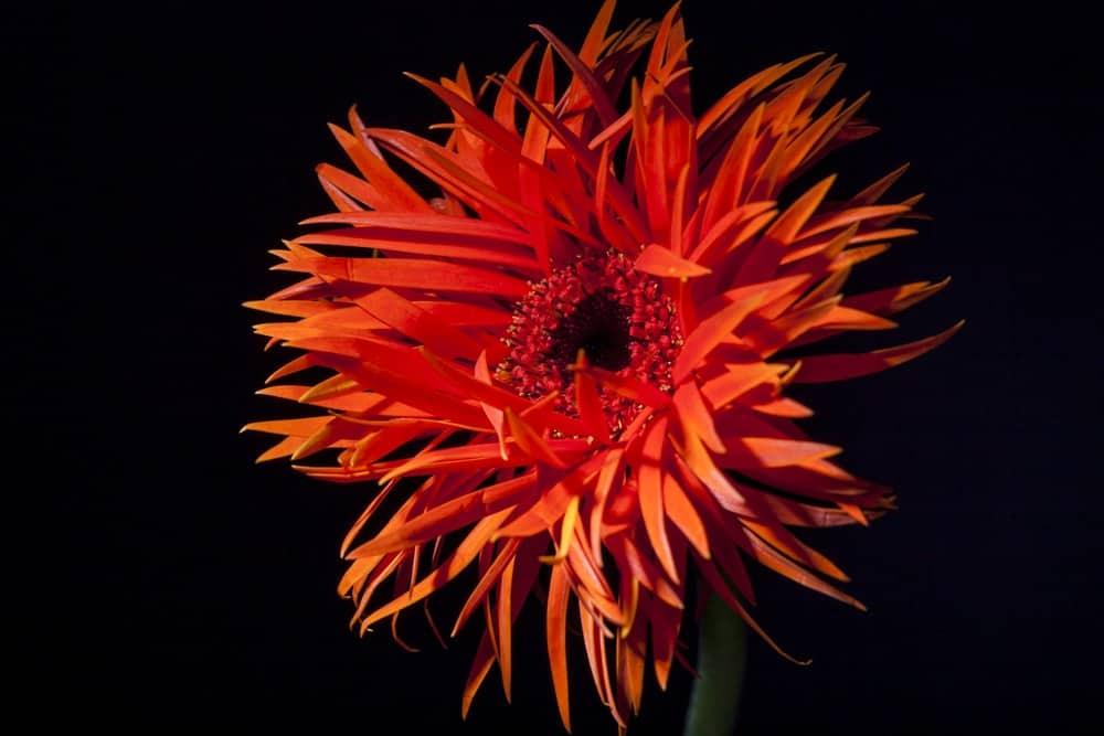 Orange spider gerbera