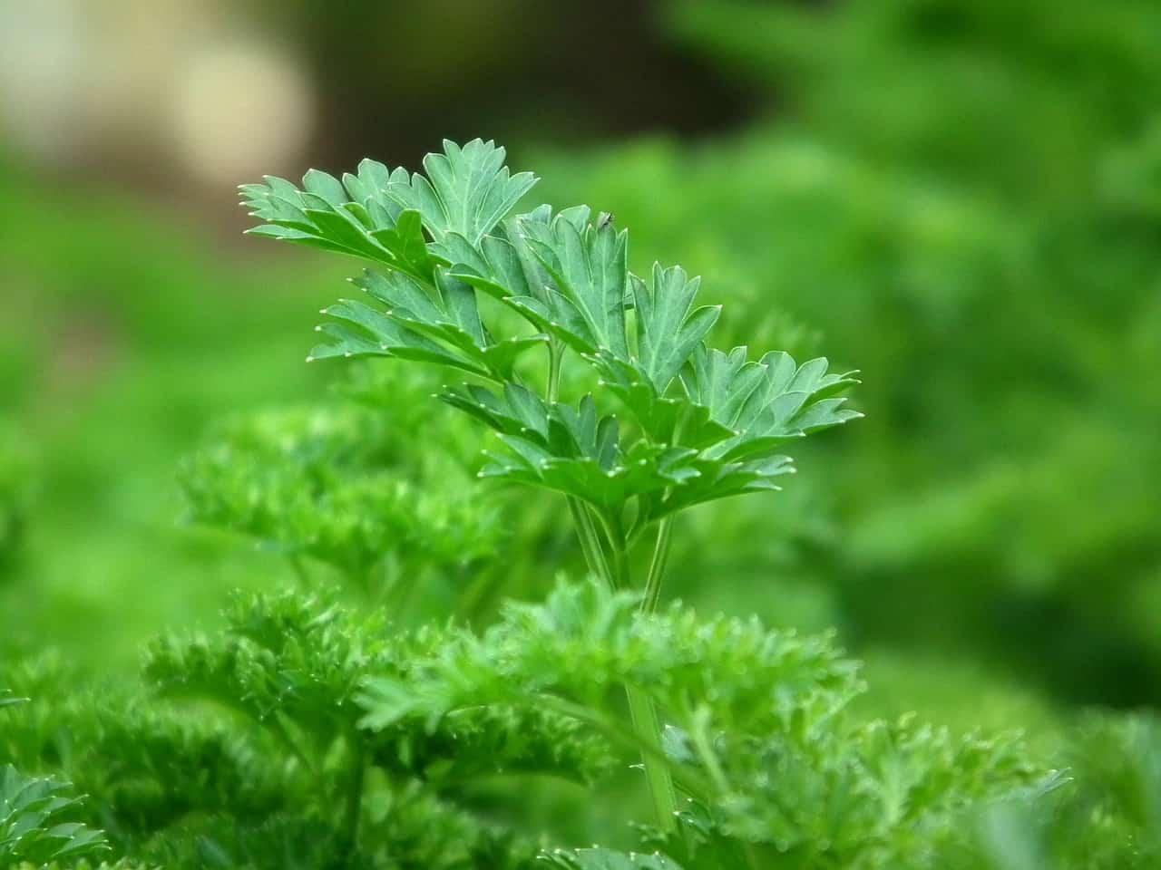 Parsley plant.