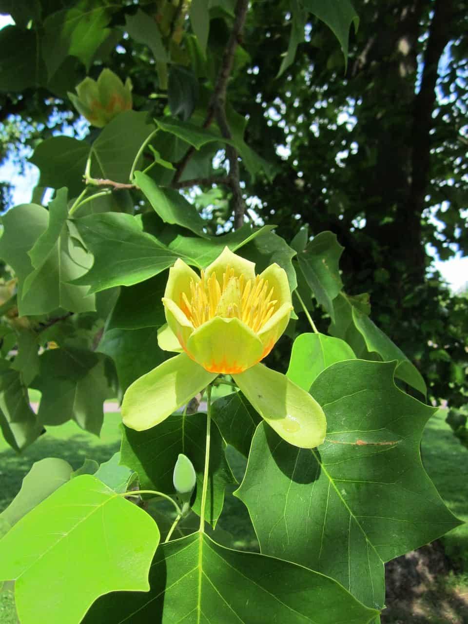 Poplar plant.