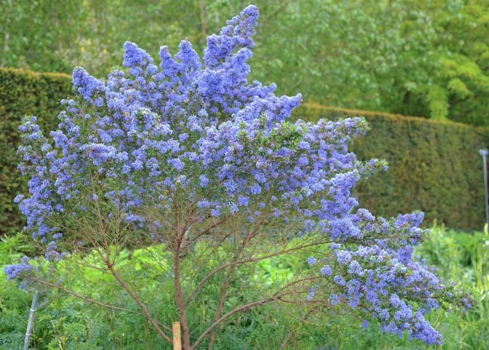 Puget Blue lilac