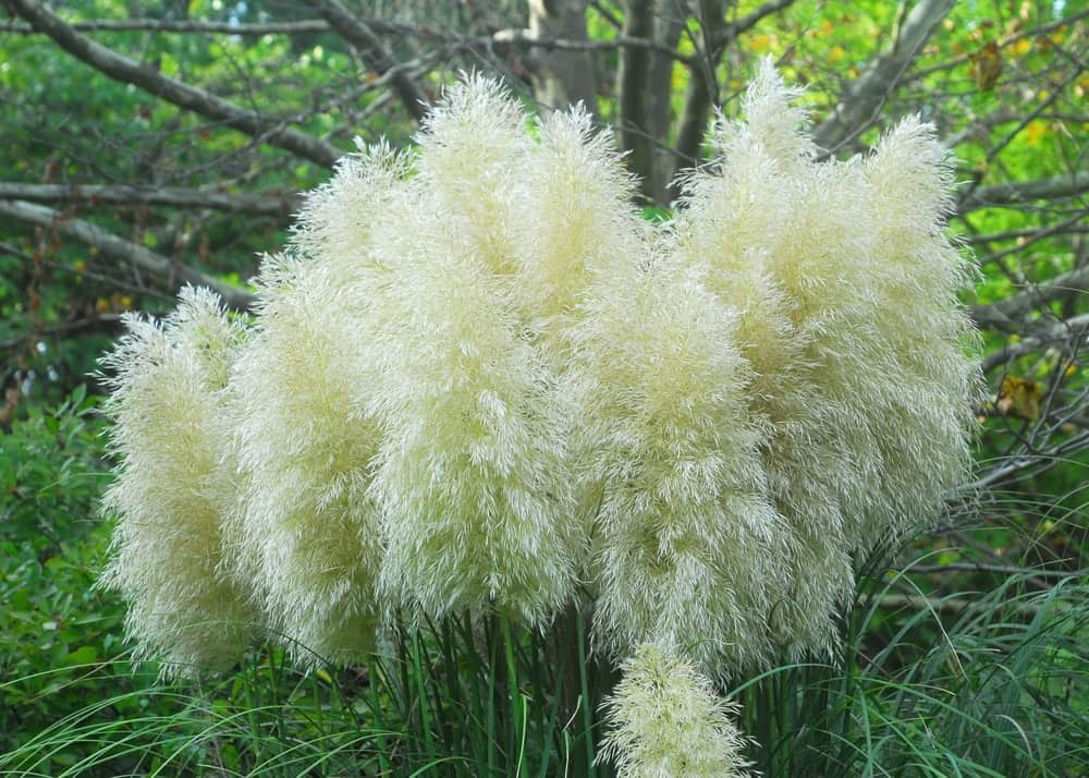Pumila ornamental grass