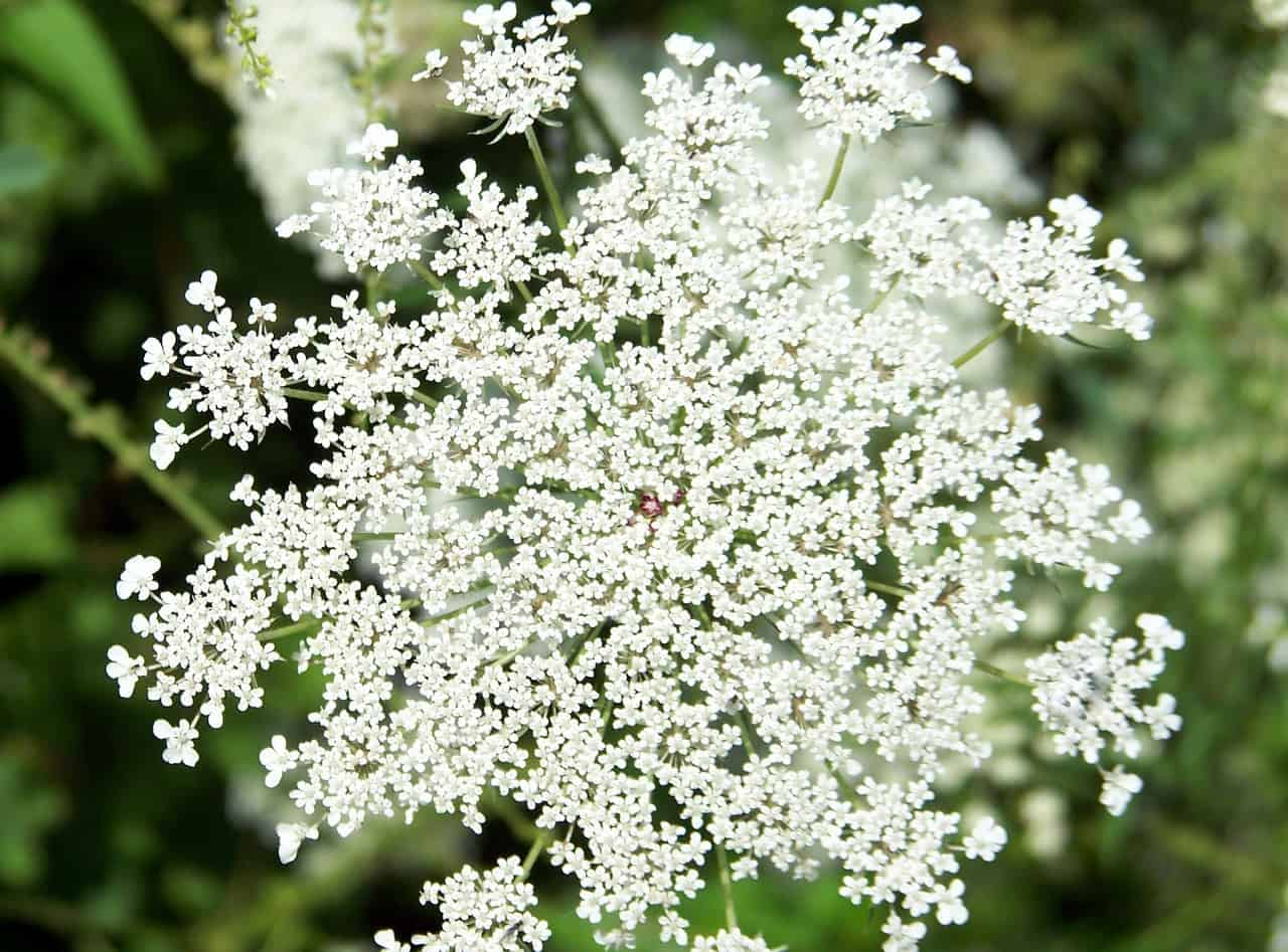 Queen Anne's lace flower.