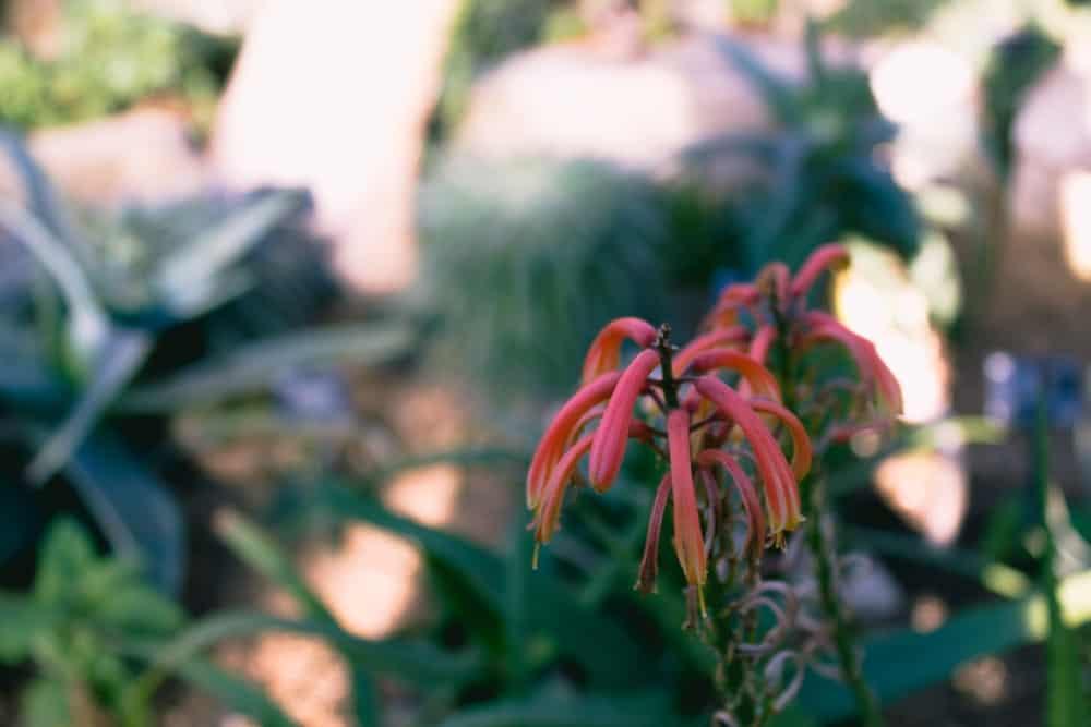 Red aloe