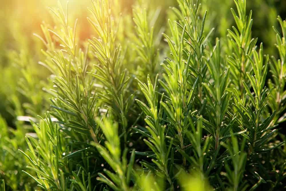 Rosemary plant.