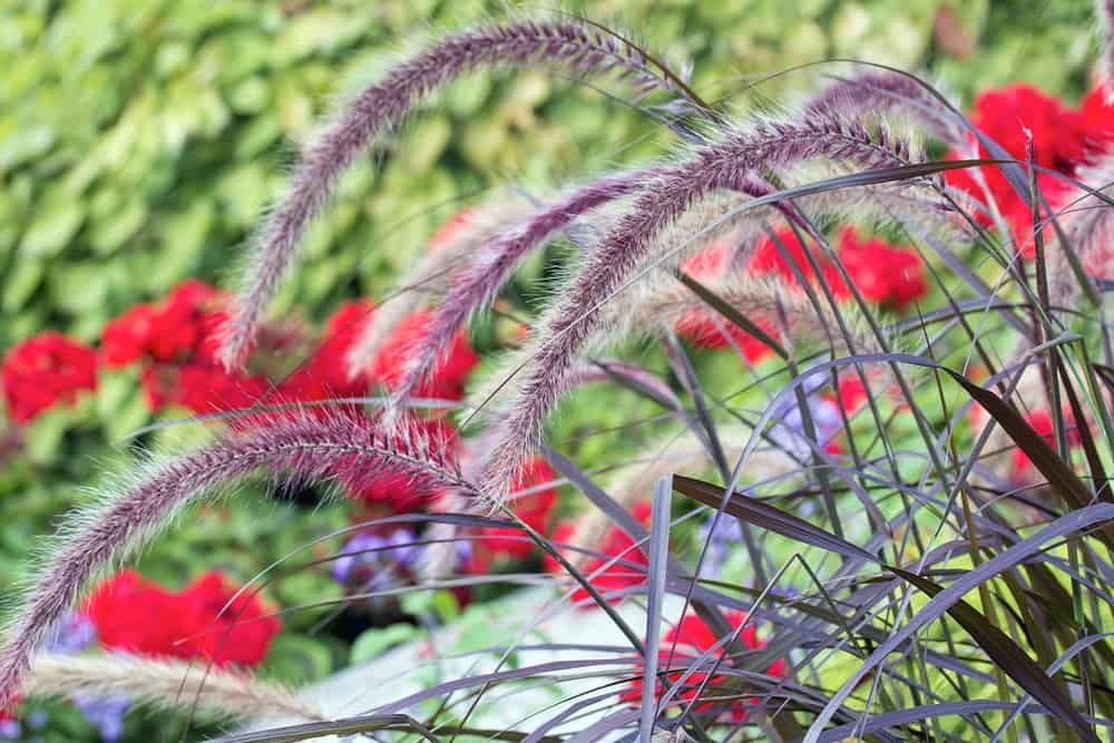 Rubrum ornamental grass