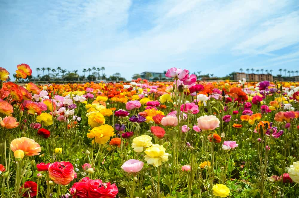 A field of ranunculus flowers in different colors.