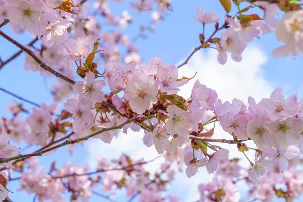 Sargent cherry blossoms