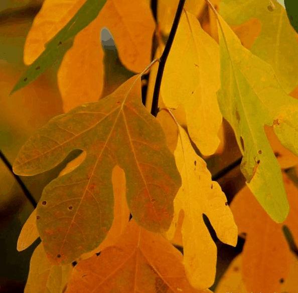 Sassafras leaves.