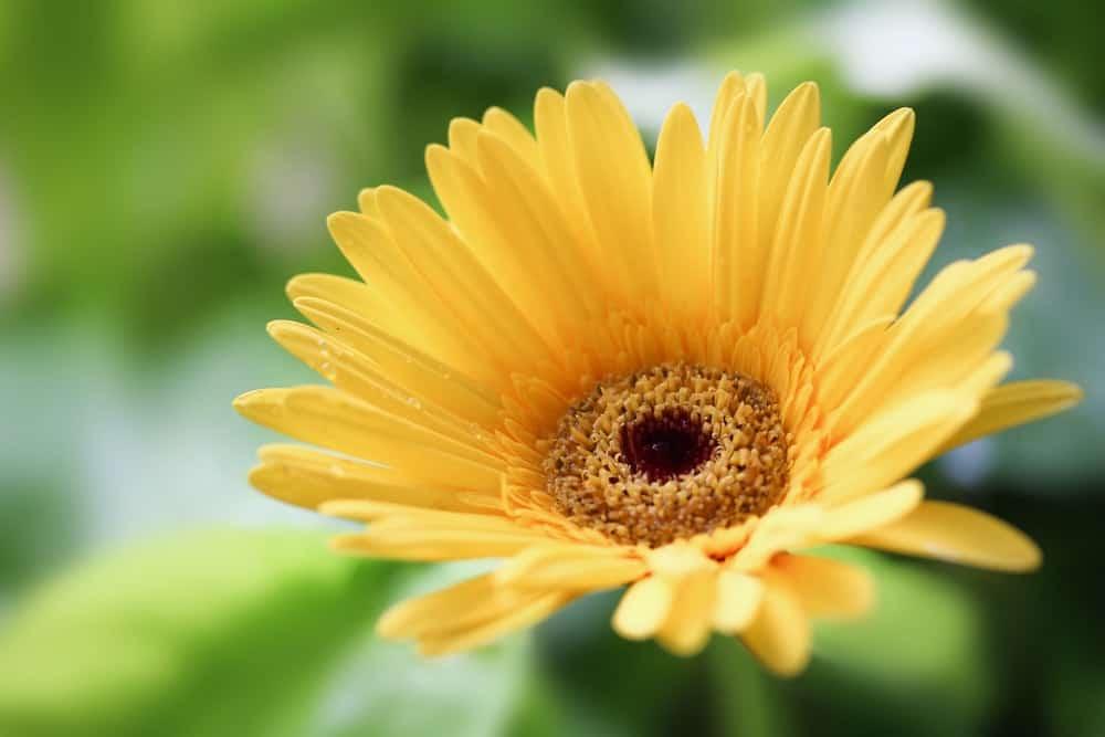 Single gerbera daisy