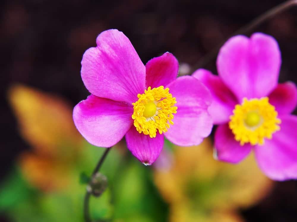 Splendens anemone