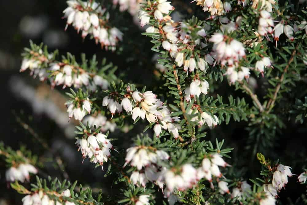 Springwood white heather flowers