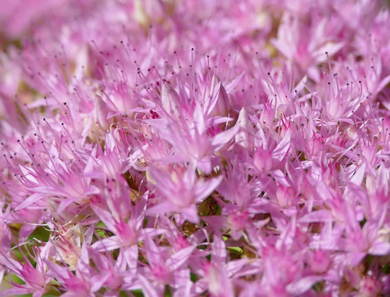 Stonecrop plant.