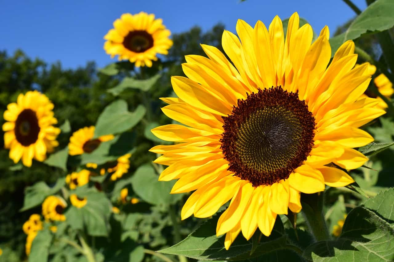 Sunflower plant.