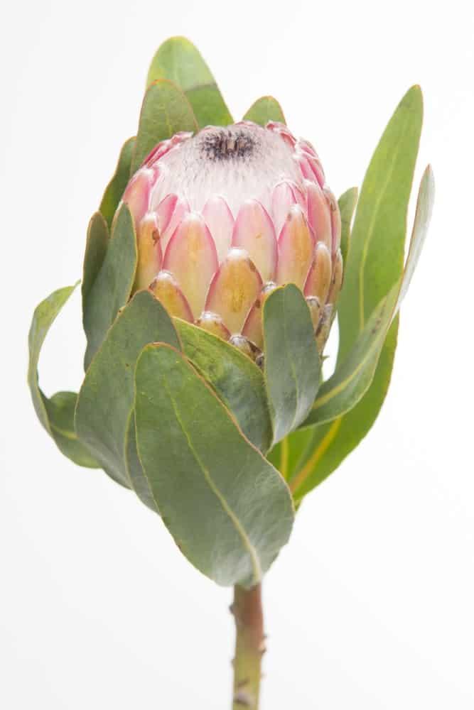 Susara protea