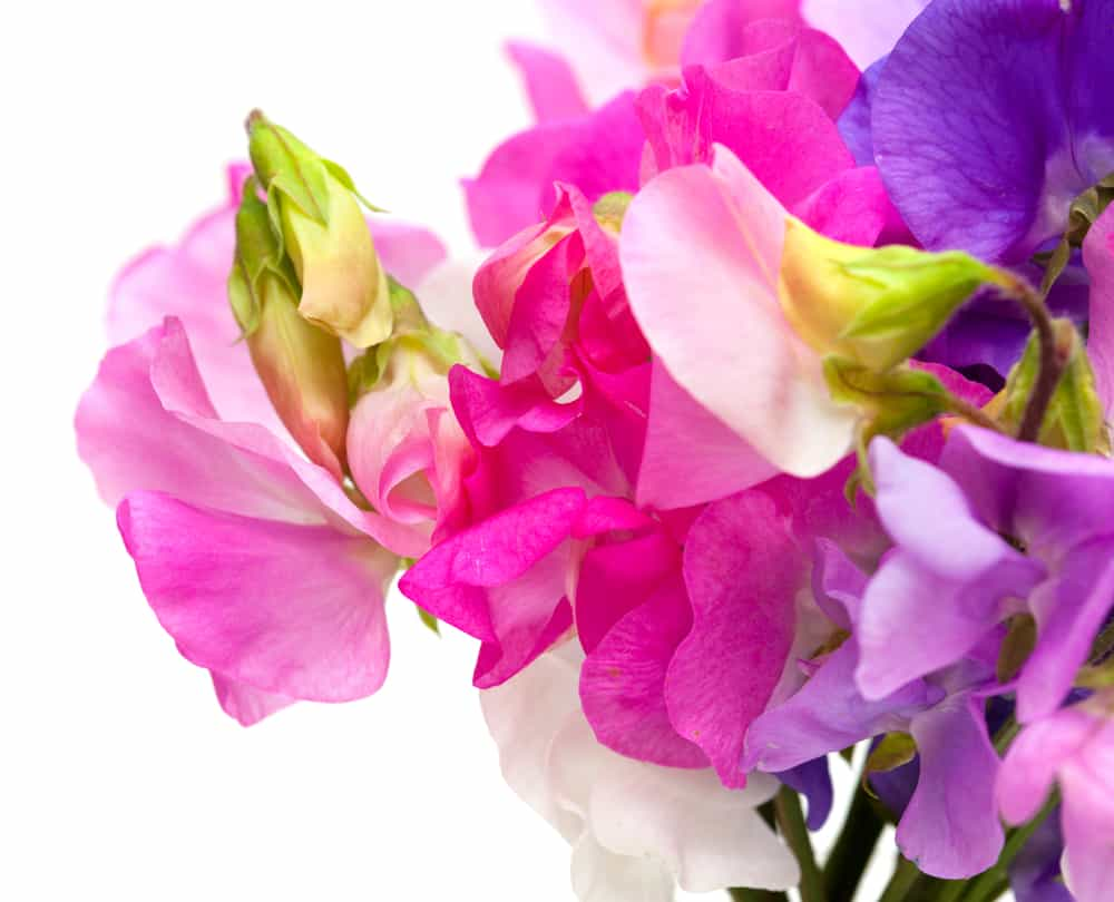 Sweet pea flowers of different colors.