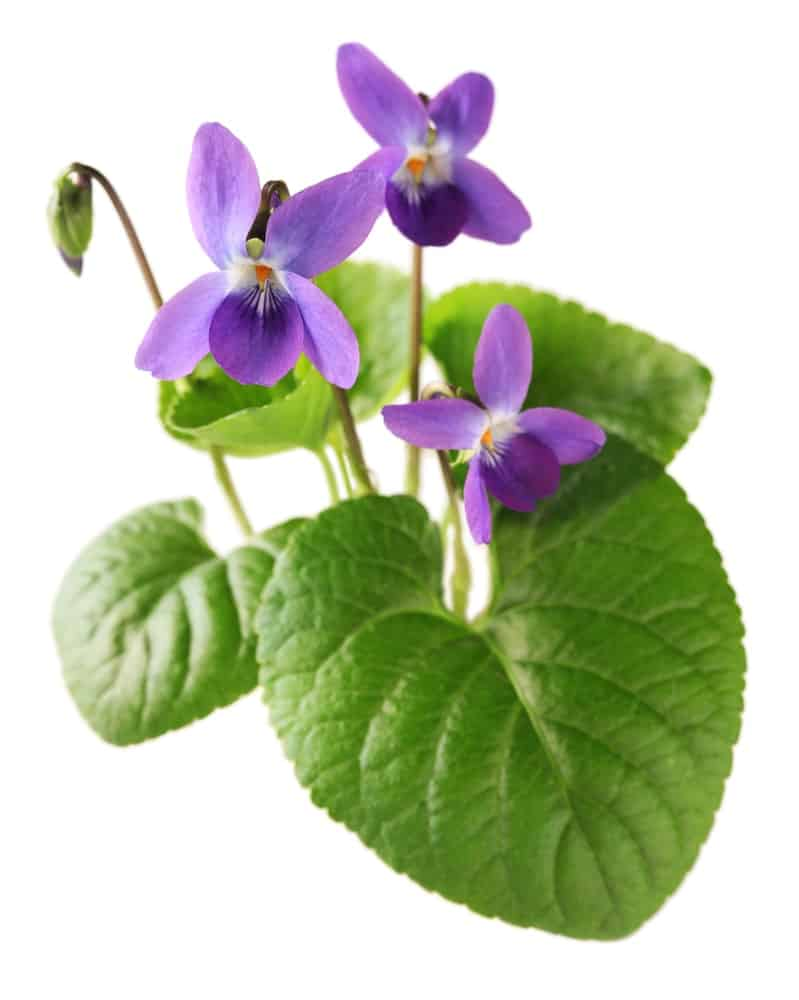 37 Different Types Of Violets For Your Garden