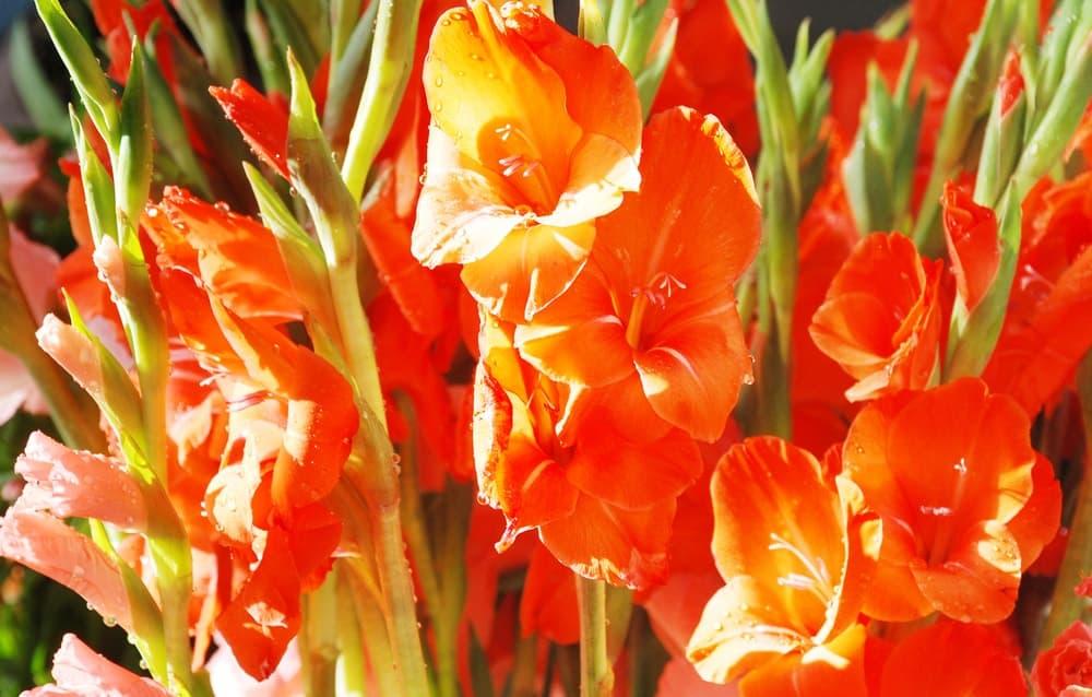 Sword lily gladiolus