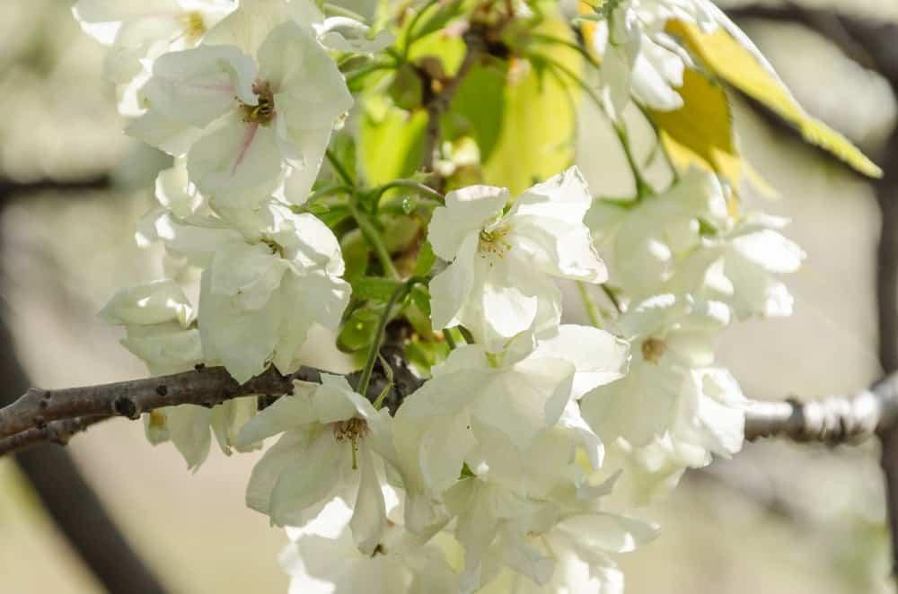 Ukon cherry blossoms