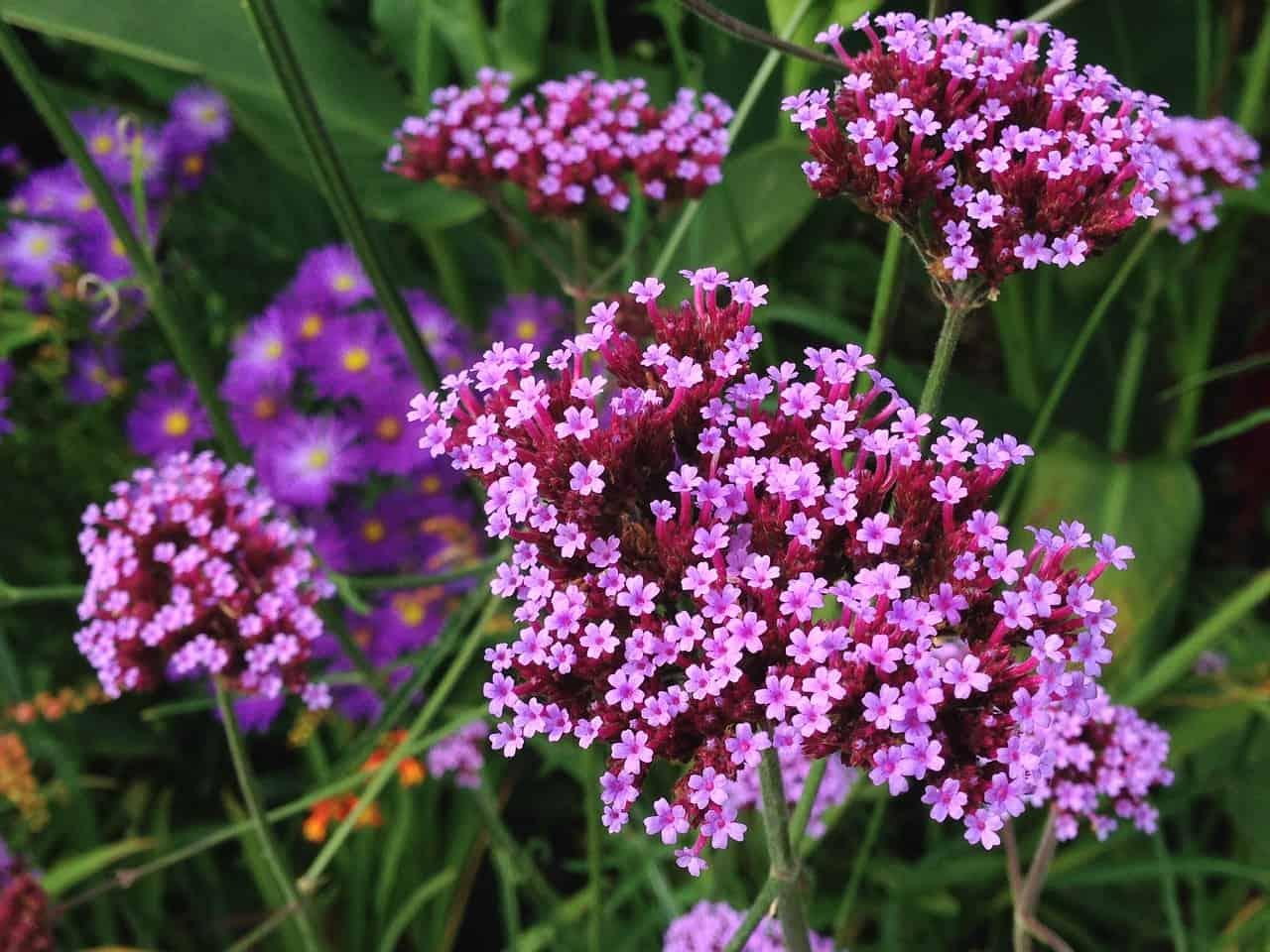 Verbena flower.