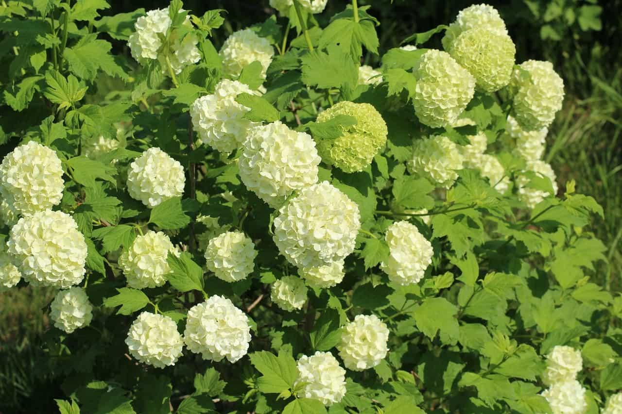 Viburnum flower.