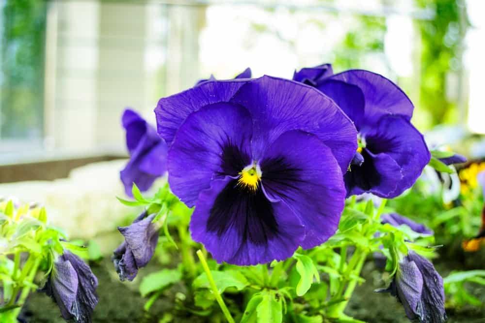 Violet hirta