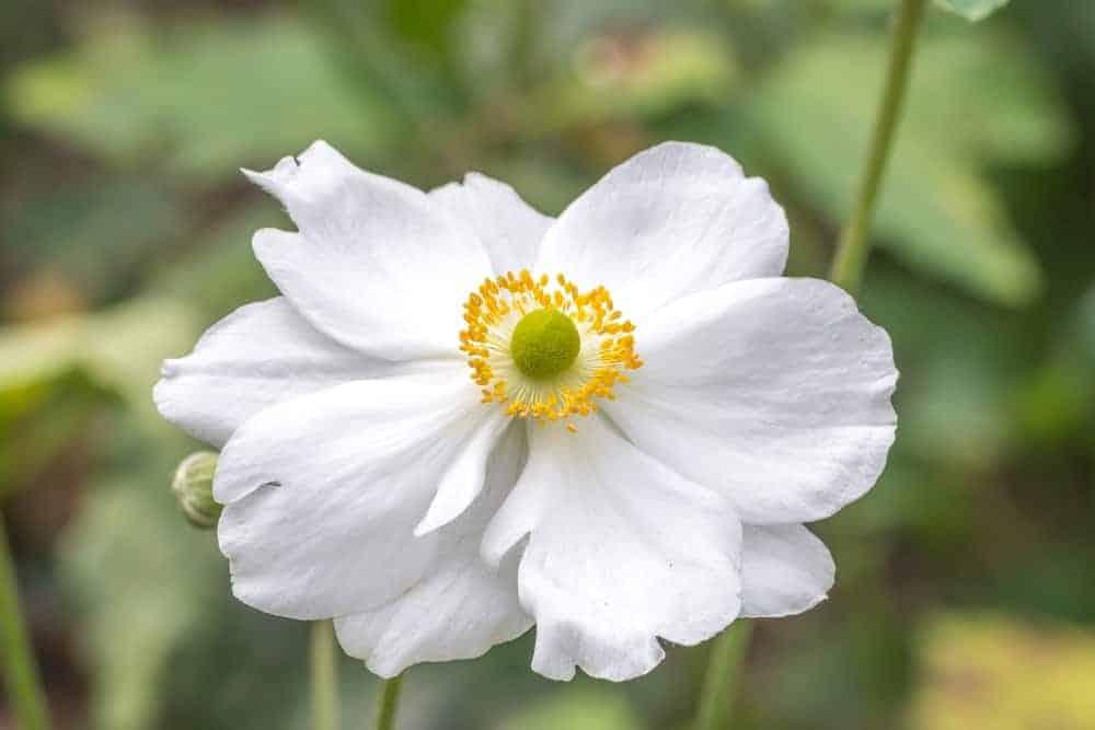 Whirlwind anemone