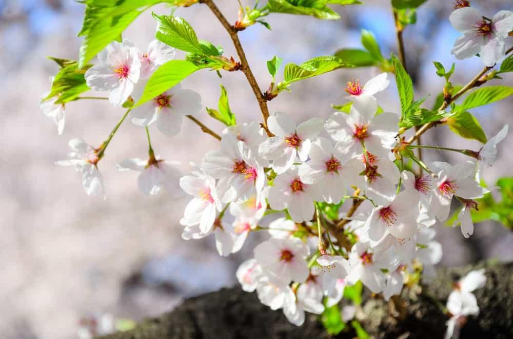 Yamazazakura cherry blossoms